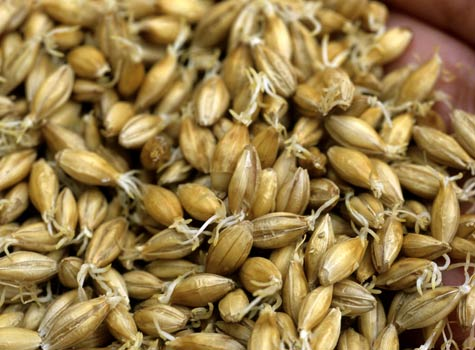Barley, the main grain used in whisky