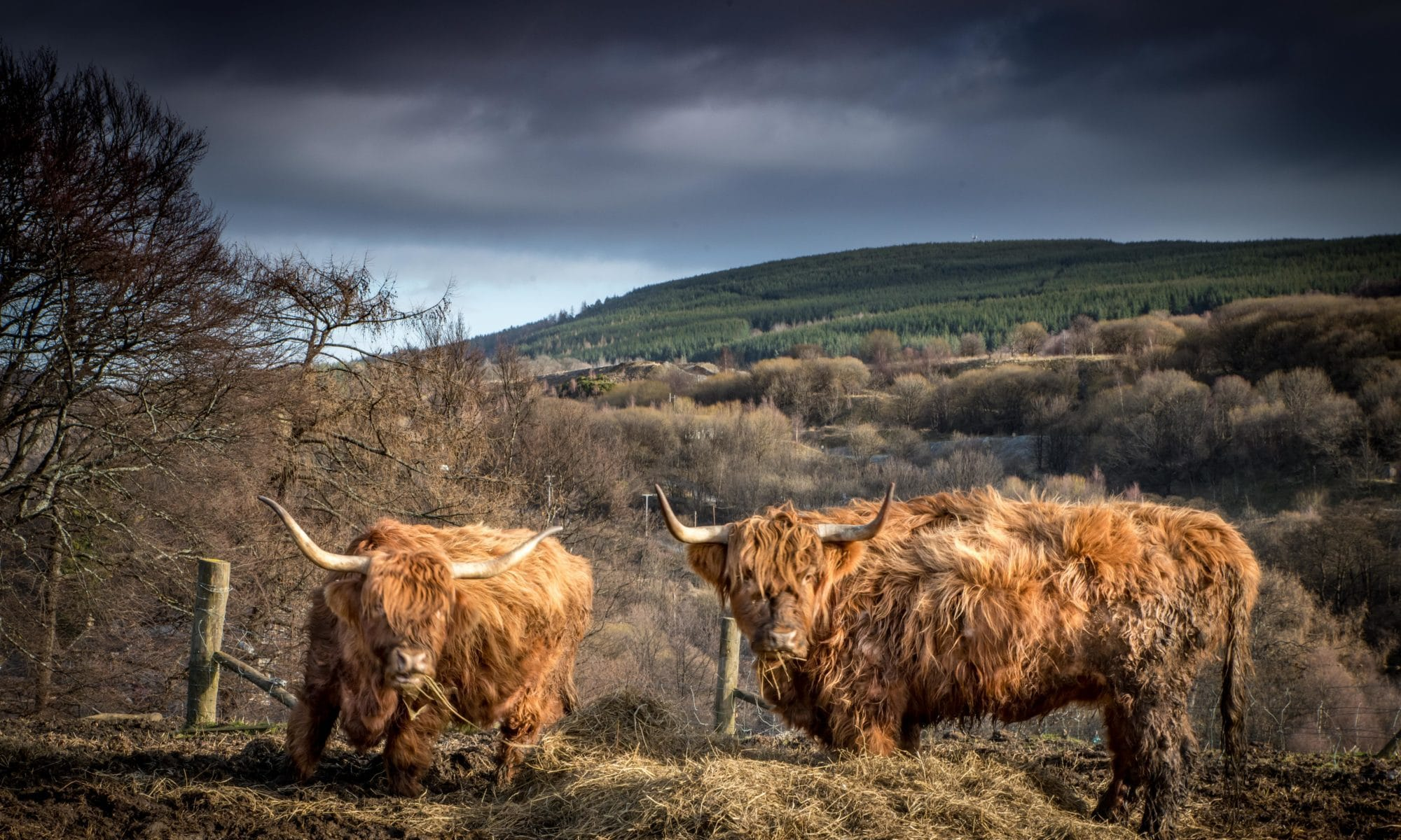 Vache Highland Roadtrip Ecosse Siredwards
