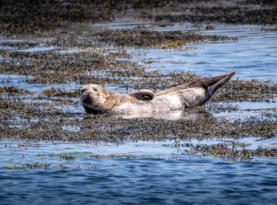 Le petit phoque de l'île de Harris