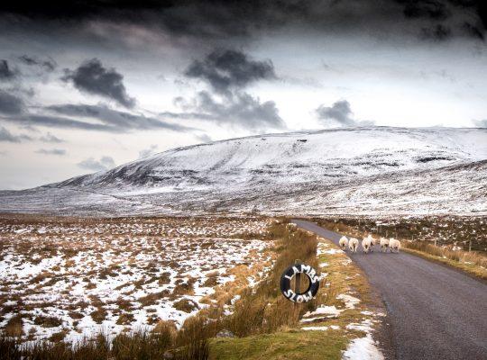 Embouteillage de moutons écossais
