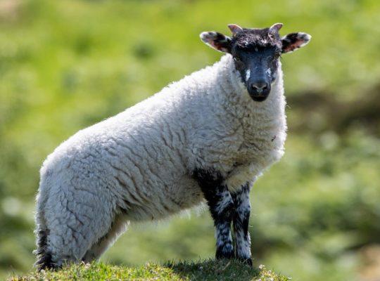 Les moutons à tête noire de Lewis et Harris